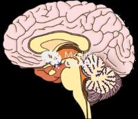 Brain hypothalamus lateral