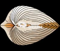 Cerastoderma edule bivalve lateral