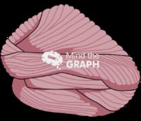 Cerebellum lateral