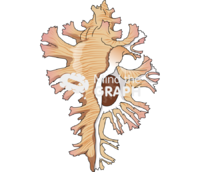 Chicoreus palmarosae front