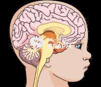 immature brain head lateral