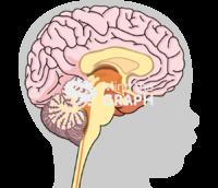 immature brain head shape lateral