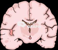 Immature brain healthy front cut