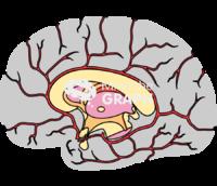 Circulatory system brain 2