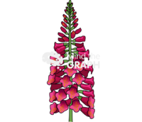Digitalis purpurea flower