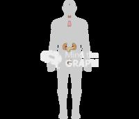 Endocrine system man shape