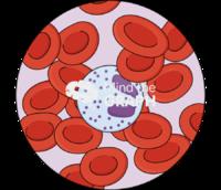 Eosinophil erythrocytes zoom