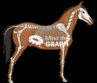Horse skeleton body lateral