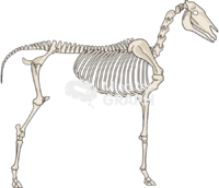 Horse skeleton lateral