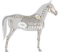 Horse skeleton shape lateral