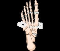 Human foot bones inferior