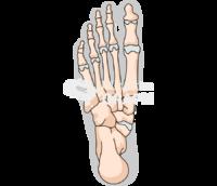 Human foot bones shape inferior