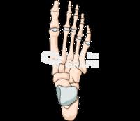 Human foot bones superior