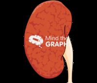 Kidney renovascular hypertension 1