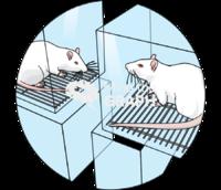 Lab animals rats zoom