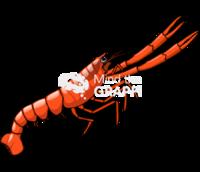 Lobster krill munida gregaria