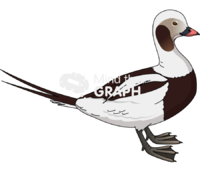 Long tailed duck male