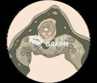 Midrib microscope 2