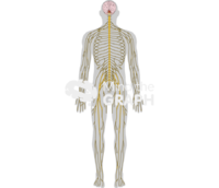Nervous system body