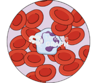 Neutrophil erythrocytes zoom
