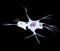 Oligodendrocyte 1