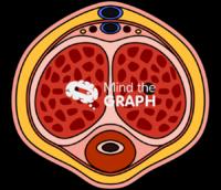 Penis human flaccid transversal cut
