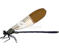 Polythore ornata