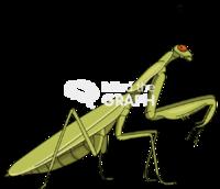 Praying mantis lateral