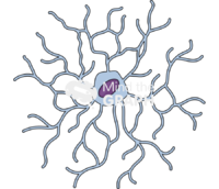 Ramified primate microglia