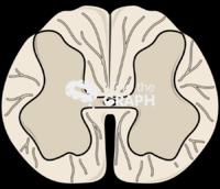 Spinal cord cut l2
