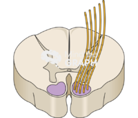 Spinal cord t8 central nervous perspective