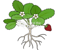 Strawberry fragaria virginiana