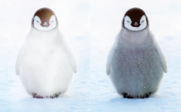White-Penguin