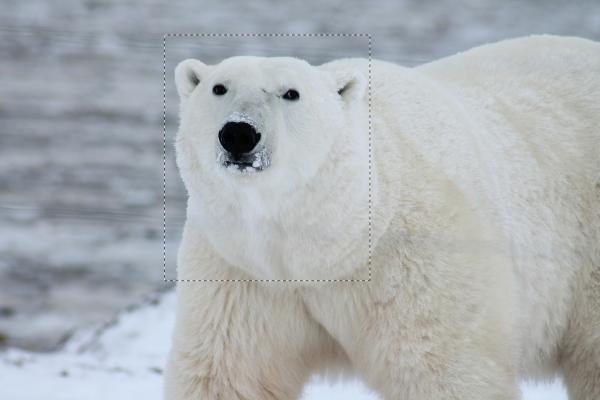 Polar-Bear-Avvy-2