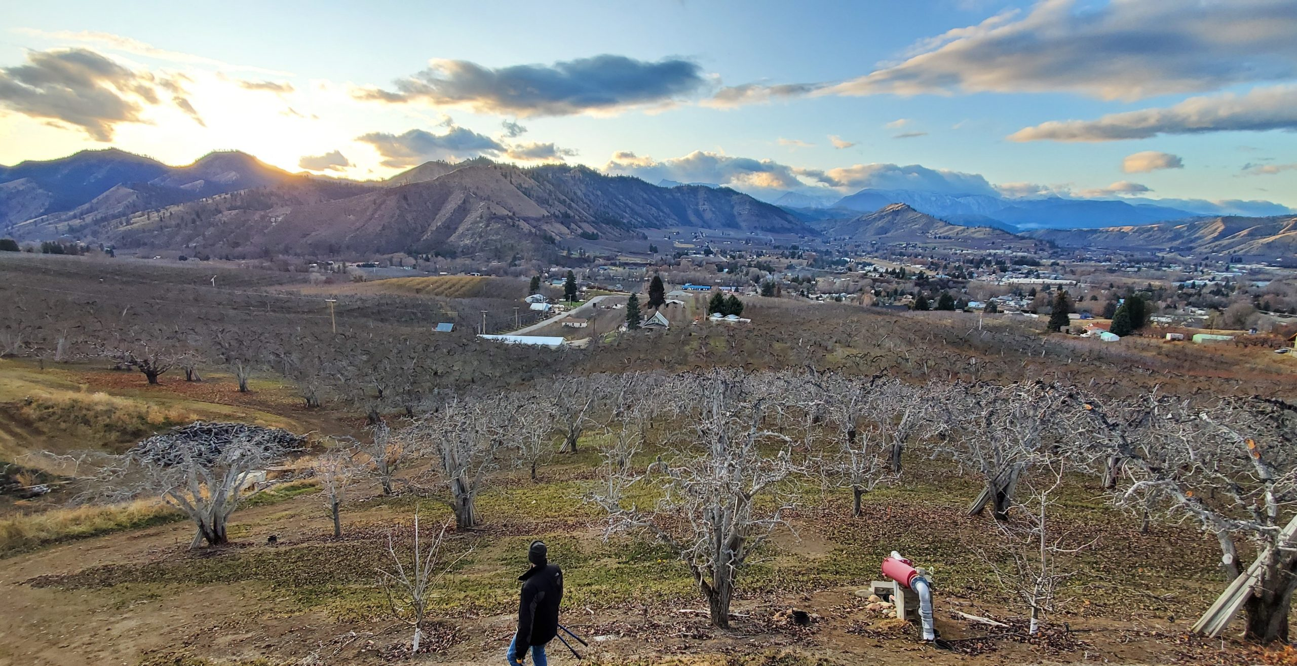 panoramic view of a pear orchard in the foreground with the sun setting behind mountains in the distance