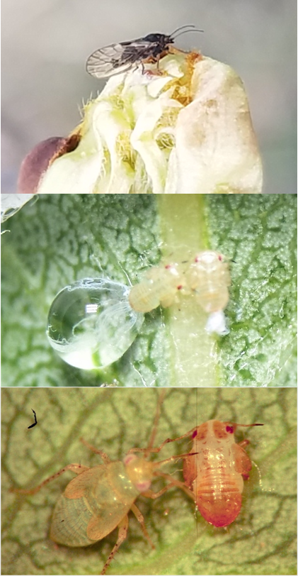 three stacked photos showing adult and nymph pear pyslla on buds and leaves