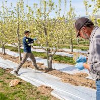 two people working in a pear orchard with reflective mulch