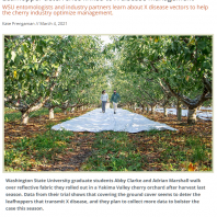 two people walk between rows of cherry trees on white reflective fabric covering the orchard floor