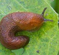 dark brown slug on a green leaf