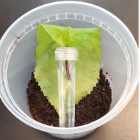 plastic cup with a layer of brown soil at the bottom and a green leaf in inserted in the end of a water filled tube on top of the soil