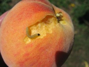 Oblique banded leafroller feeding on peach surface.