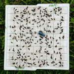 Delta trap liner covered with oriental fruit moth adults.