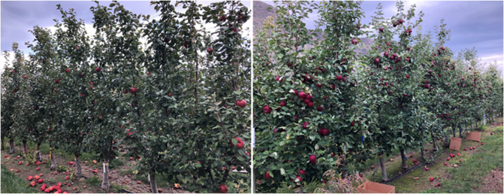 side by side pics of Honeycrisp and WA 38 apple orchards