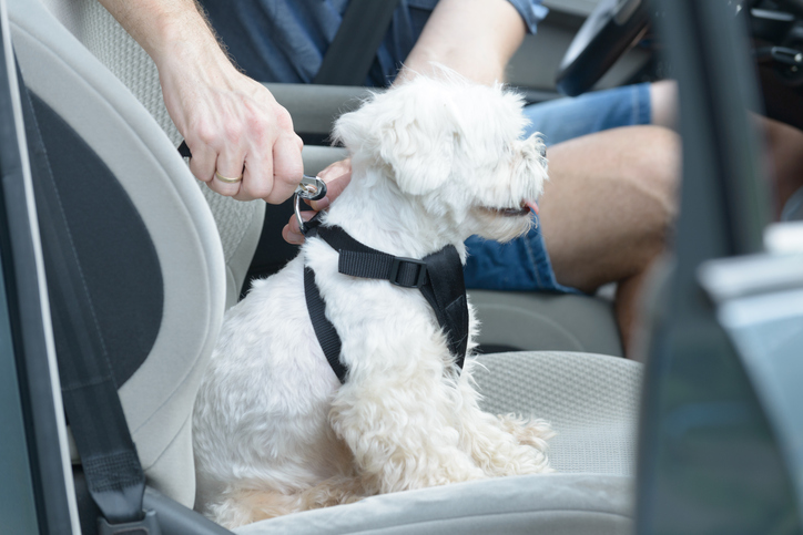 A dog being fastened into a dog car harness