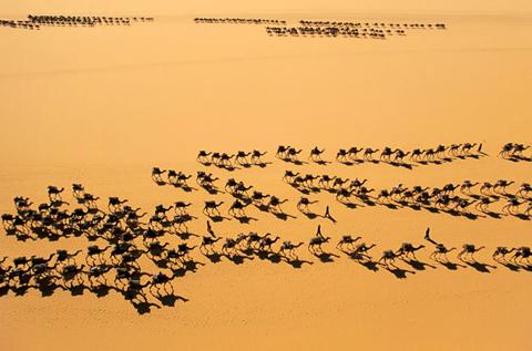 Two passing camel caravans in the Sahara.