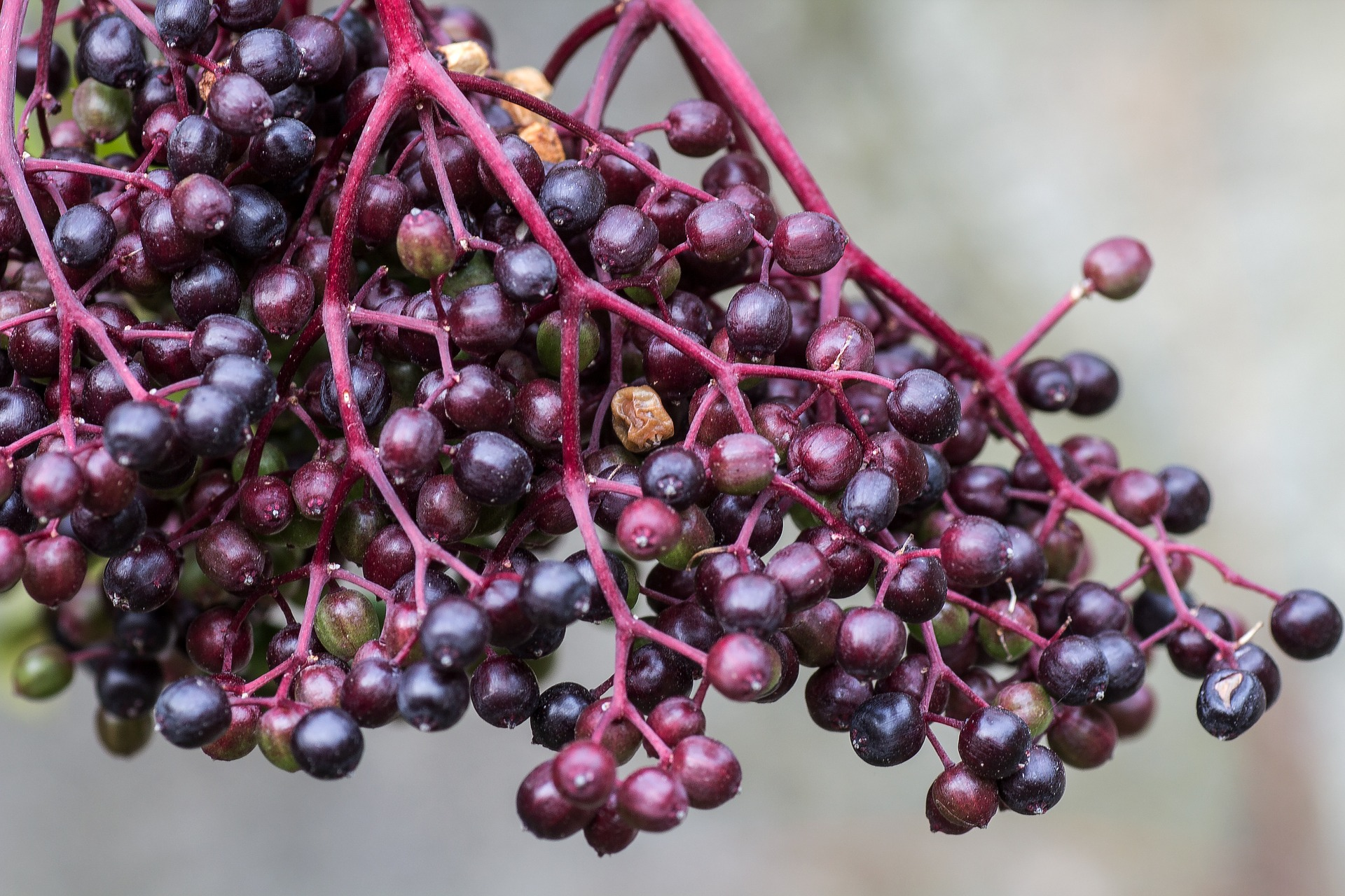 Elderberry Benefits Pictures