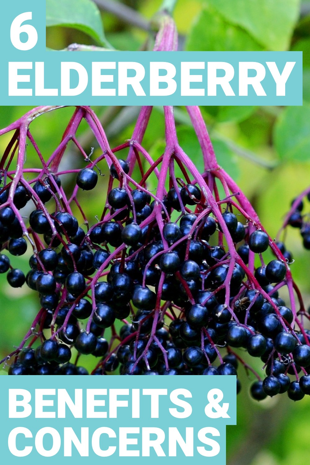 Elderberries are great when it comes to making your body feel better due to sickness. Find out other elderberry benefits here.