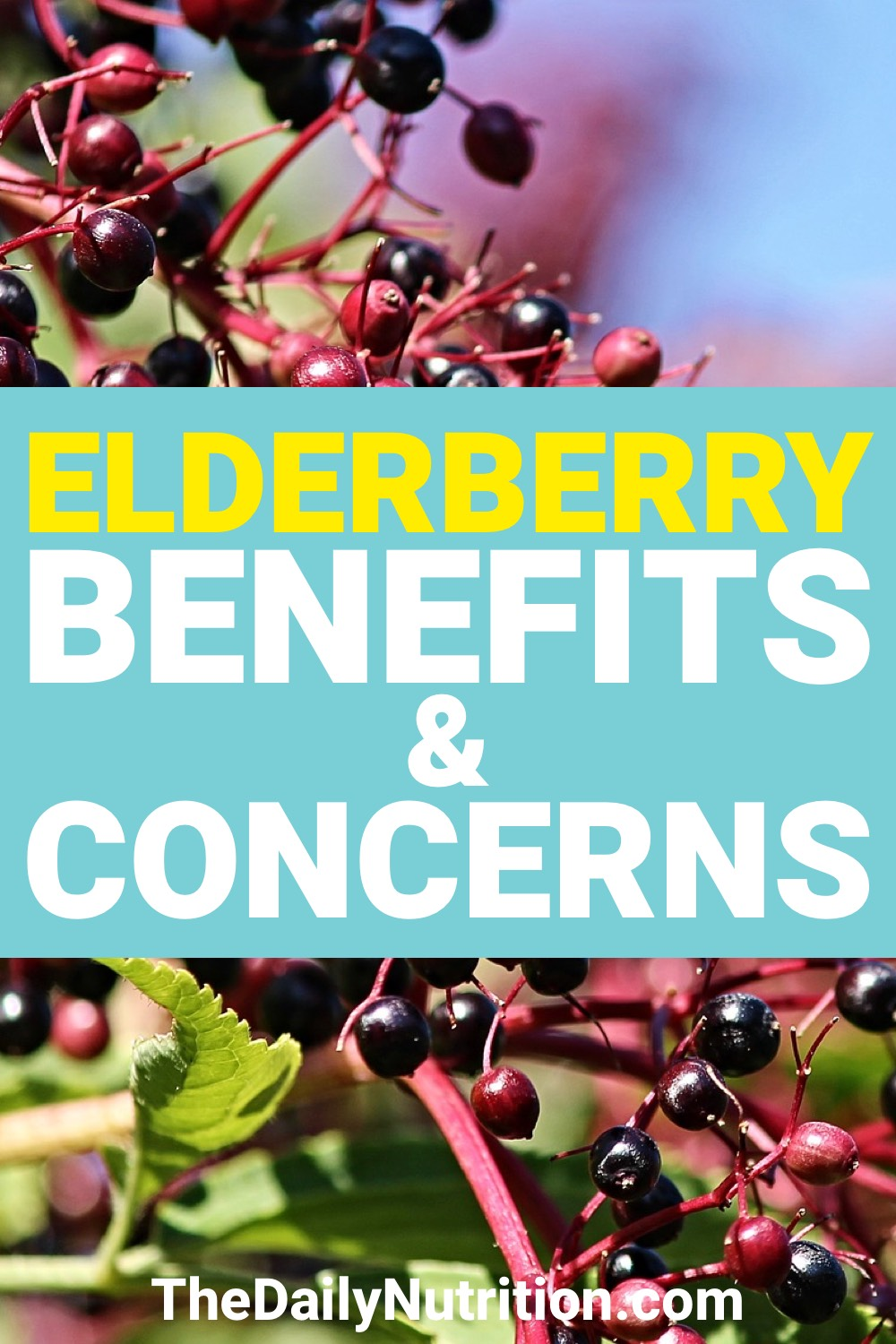 The elderberry has been used for medicine for thousands of years. Find out the elderberry benefits here.