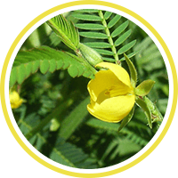 cassia-nomame-is-a-key-ingredient-in-carb-shield