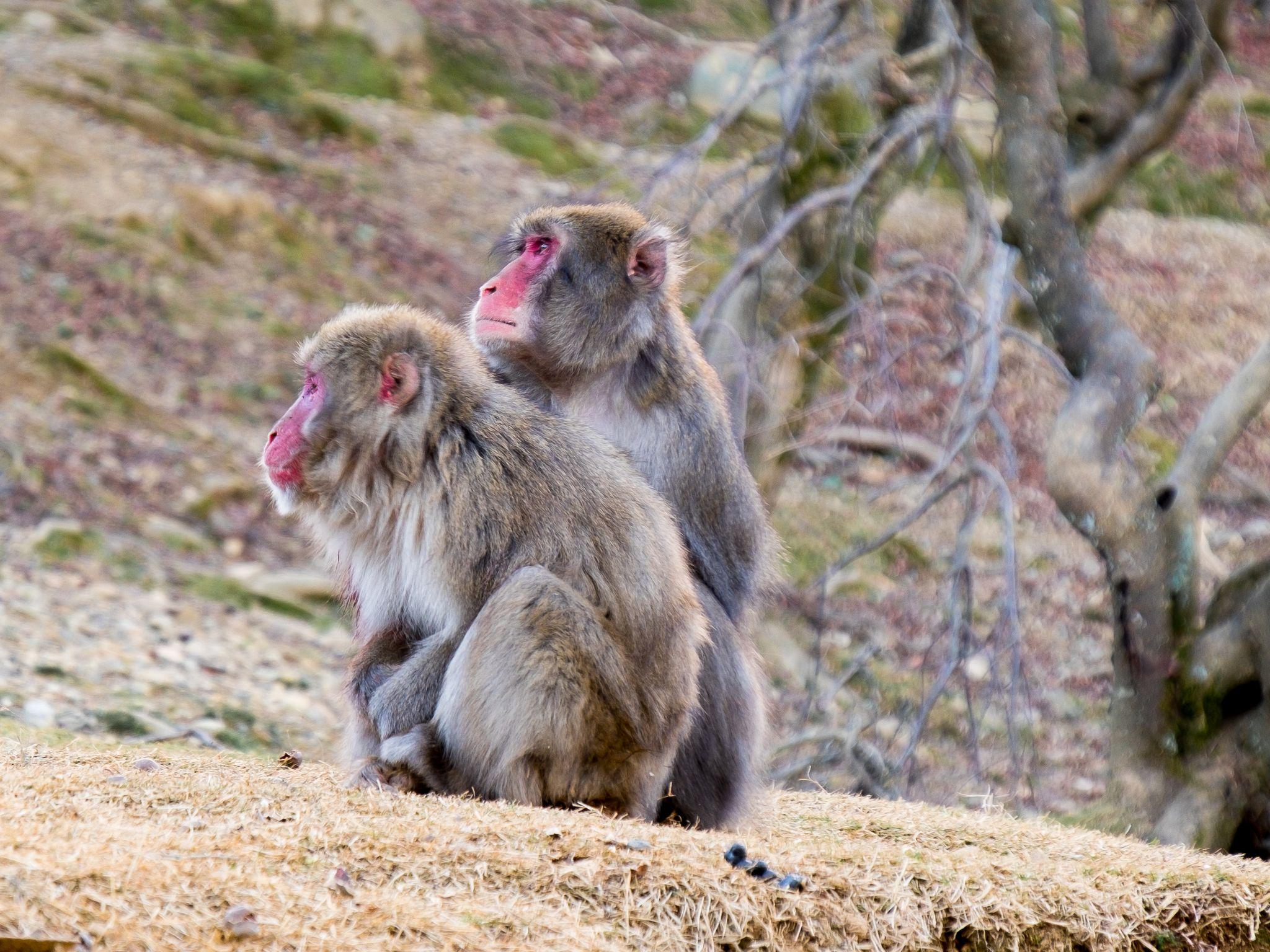 papa and mama monkeys, Iwatayama Monkey Park, Arashiyama